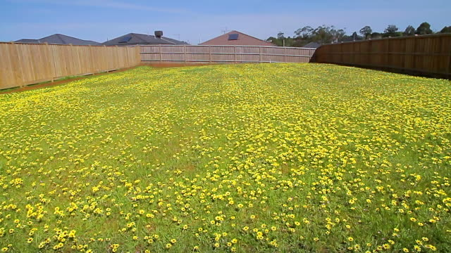 WS PAN Vacant lot of land ready for building covered in yellow flowers / Warragul, Victoria, Australia