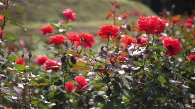vidéos et rushes de valentin rose - rosée