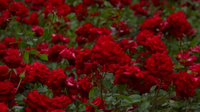 valentinstag rose - rose stock-videos und b-roll-filmmaterial