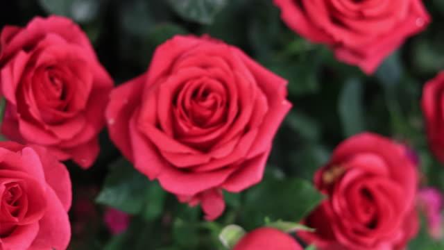 Alla hjärtans dag roses