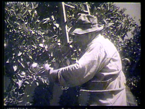 valley orange grove w/ citrus trees planted in rows, vs man on ladder harvesting oranges by hand, placing fruit into cross-body sack at side, male... - オレンジ果樹園点の映像素材/bロール