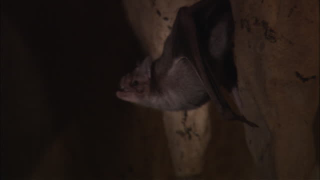 A vampire bat backs away from a beam of light in a cave.