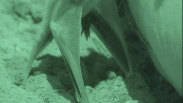 A vampire bat sucks on a sow's teat.