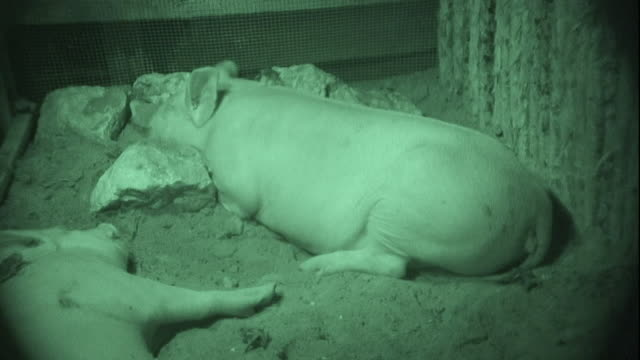 Vampire bats crawl over and feast on pigs.