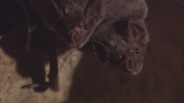 zo vampire bats hanging upside down and fidgeting in karst cave / belize - cave stock videos & royalty-free footage