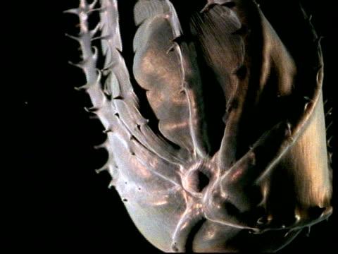 vampire squid (vampyroteuthis diabolus) - vampire stock videos and b-roll footage