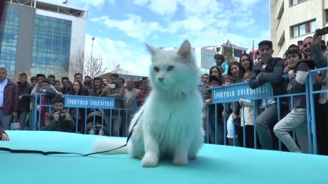vídeos de stock, filmes e b-roll de van cat named 'sezar' won this year's cat beauty contest held in van, eastern province of turkey. the world-renowned van cat breed is admired for its... - contestant