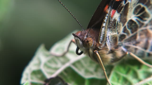 stockvideo's en b-roll-footage met vanessa indica (indian red admiral) - documentairebeeld