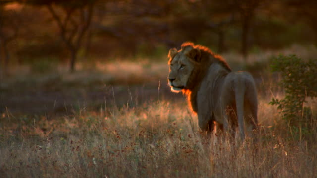 Vapors float from a lion's nose as he breathes and walks across the savanna. Available in HD.