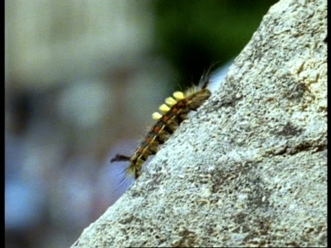 mcu vapourer moth (orgyia antiqua) caterpillar crawling up stone, england - muscular contraction stock videos and b-roll footage