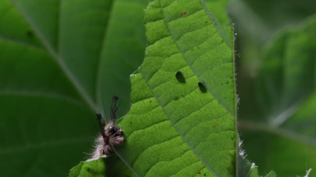 t/l vapourer moth (orgyia antiqua) caterpillar eating hazel (corylus sp.) leaf mcu, uk - erbivoro video stock e b–roll