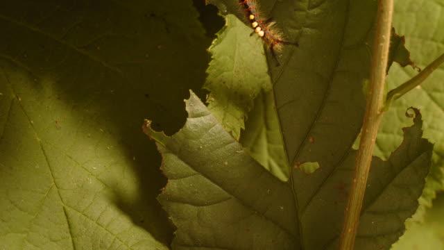 t/l vapourer moth (orgyia antiqua) caterpillar eating hazel (corylus sp.) leaf take 2, uk - herbivorous stock videos & royalty-free footage