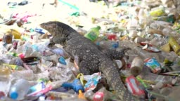 Varanus bengalensis moving and finding food on plastic waste, environment plastic pollution on the earth.