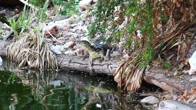 vídeos de stock e filmes b-roll de varanus salvator - árvore tropical