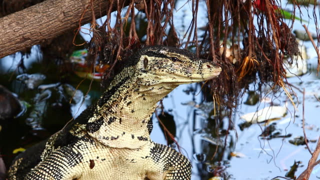 varanus salvator - water monitor stock videos and b-roll footage