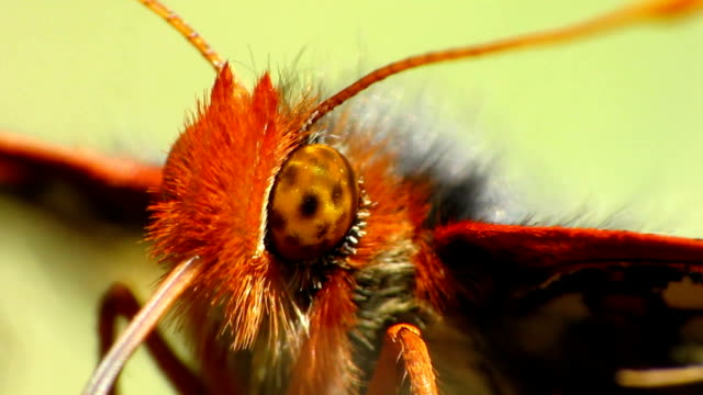 variable checkerspot butterfly - invertebrate stock videos & royalty-free footage