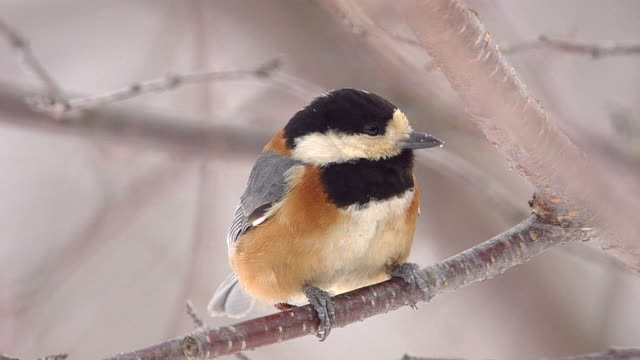 Varied Tit On Branch In The Snow