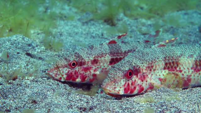 variegated lizardfish under water in philippines - lizardfish stock videos & royalty-free footage