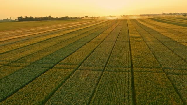 AERIAL Varieties of wheat plants