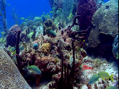 a variety of fish forage along a beautiful coral reef. - grunt fish stock videos and b-roll footage