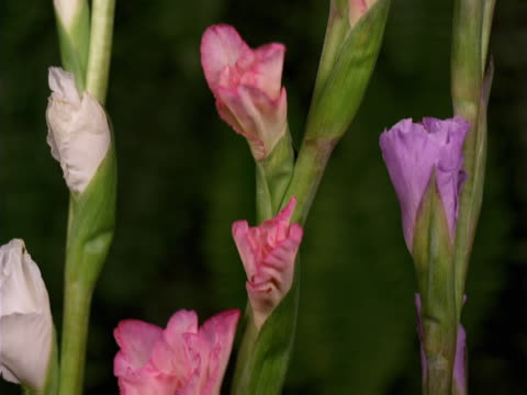 variety of gladiolus - gladiolus stock videos & royalty-free footage
