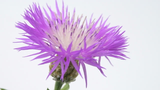 a variety of knapweed, extreme close-up - thistle stock videos & royalty-free footage