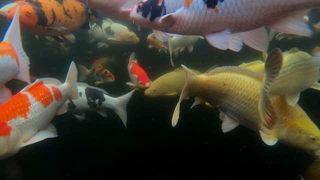 vídeos y material grabado en eventos de stock de variety of koi carp seen from an underwater perspective, oxfordshire, united kingdom - organismo acuático