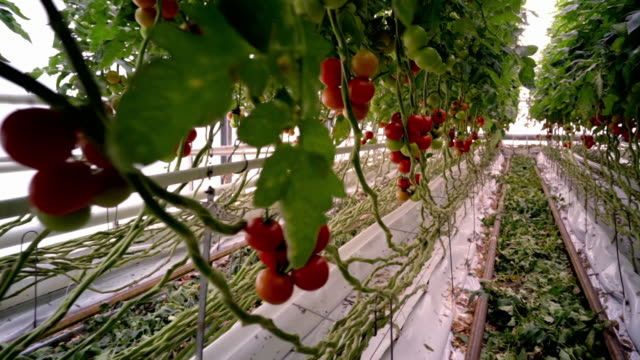 variety of tomatoes in indoor tomato farm - tomato stock videos & royalty-free footage