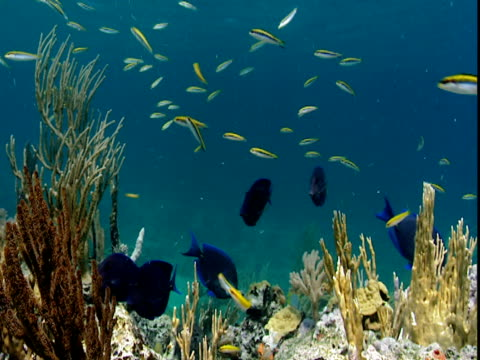vídeos de stock, filmes e b-roll de a variety of tropical fish feed on corals in shallow water. - variety
