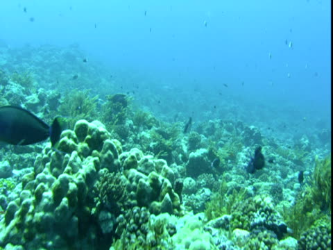 a variety of tropical fish swim along a coral reef. - hemitaurichthys polylepis stock videos and b-roll footage