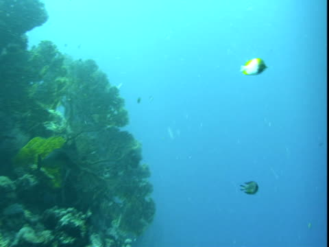 a variety of tropical fish swim around a coral shelf. - hemitaurichthys polylepis stock videos and b-roll footage