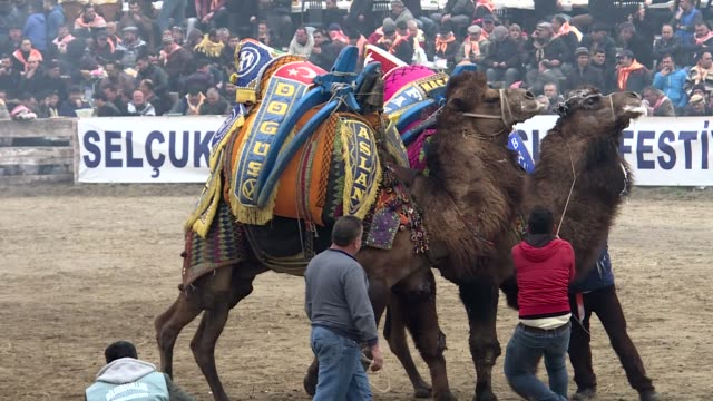 vidéos et rushes de various aerial shots during the 37th selcuk ephesus camel wrestling festival in turkey's western izmir province on january 20, 2019. - chameau