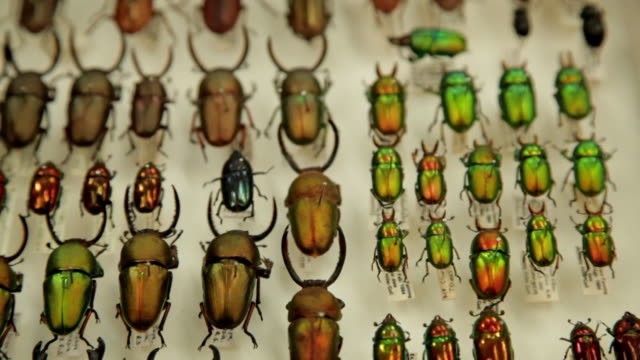 various beetles in shadow box - stuffed stock videos & royalty-free footage