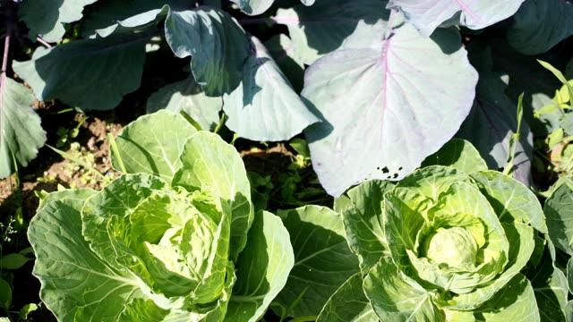 vídeos de stock, filmes e b-roll de canteiro de repolhos vários no jardim em hd - vegetable garden