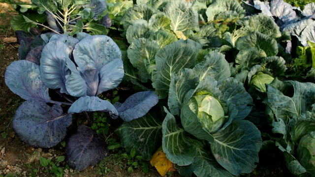 Various cabbages seedbed in the garden in HD