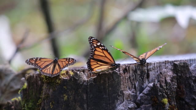 various close up shots of monarch butterflies resting on oyamel trees, moss covered logs, and clustered together from tree branches in michoacan,... - butterfly insect stock videos & royalty-free footage
