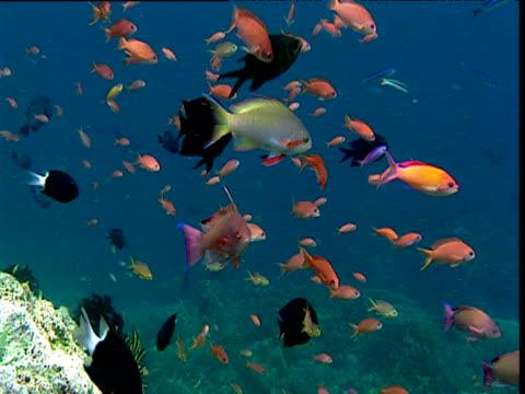 stockvideo's en b-roll-footage met various colourful reef fishes swim over coral reef, sulawesi - ongewerveld dier