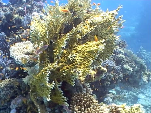 Various coral and reef fish species, wide tracking shot