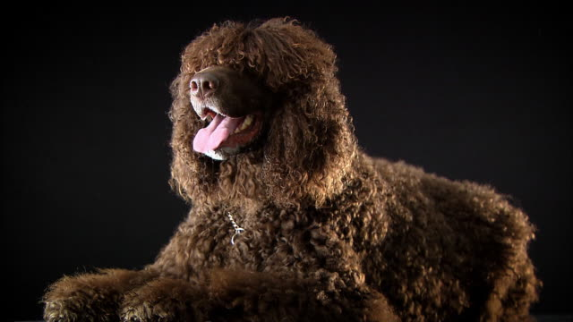 various dog breeds - black background stock-videos und b-roll-filmmaterial