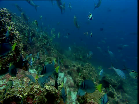 Various fish including Red tailed triggerfish (Xanthichthys mento), pacific creole fish (Paranthias colonus), bannerfish (Heniochus nigrirostris) and Moorish idol swim over coral reef, Galapagos islands