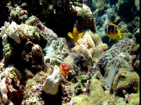 Various fish on coral reef including Nalolo which swims from right to left