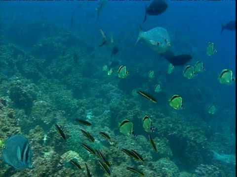 Various fish species washed back and forth in current, Galapagos