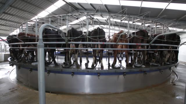 various general views dairy cows are milked in a rotary milking parlor at a farm operated by synlait milk ltd in the town of rakaia 60km from... - カンタベリー点の映像素材/bロール