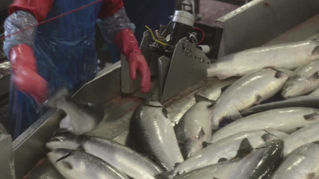 various high angle views workers pass fresh salmon through a stunning machine and along a conveyor belt at salmar asas innovamar harvesting and... - 水産業点の映像素材/bロール