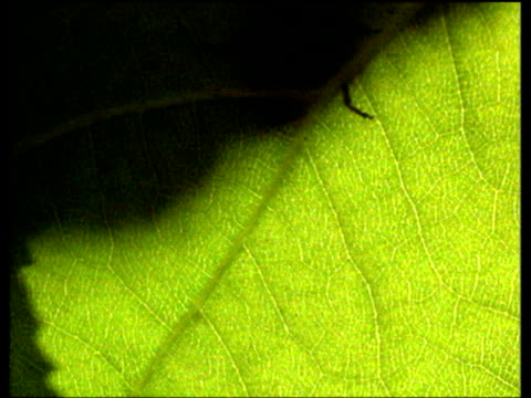 Various insect shadows seen walking over back lit tree leaves