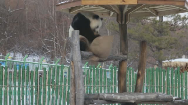 various of giant pandas playing in snow at yabuli ski resort storyline: yabuli ski resort in northeast china's heilongjiang province, the country's... - panda stock-videos und b-roll-filmmaterial