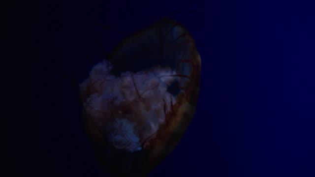 various orange jellyfish - aquatic organism stock videos & royalty-free footage