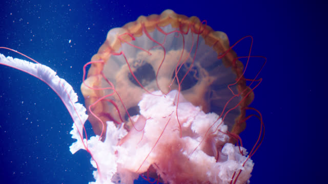 various orange jellyfish - qualle stock-videos und b-roll-filmmaterial