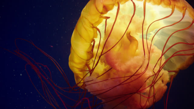 various orange jellyfish - aquatic organism stock videos & royalty-free footage