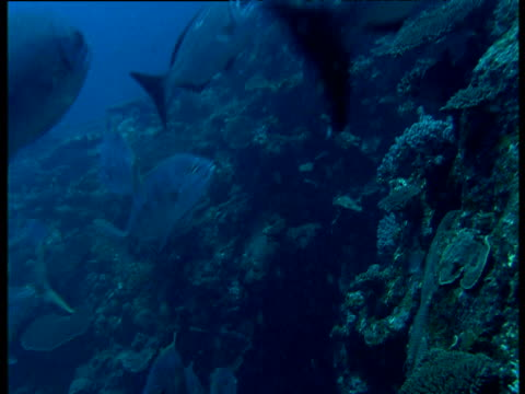 various reef fishes dart past camera, ningaloo, south australia - ningaloo reef stock videos & royalty-free footage